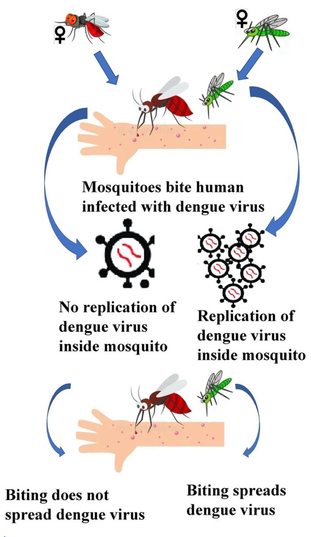 Как вольбахия помогает против распространения денге?