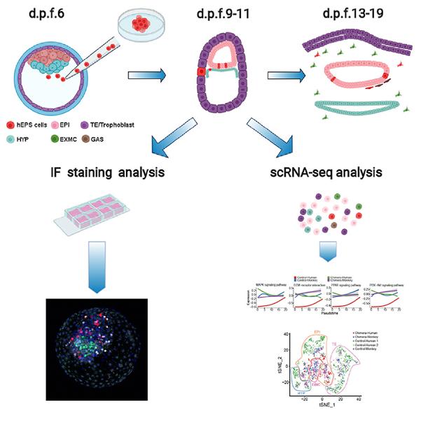 Схема эксперимента по имплантации человеческих клеток эмбриону обезьяны