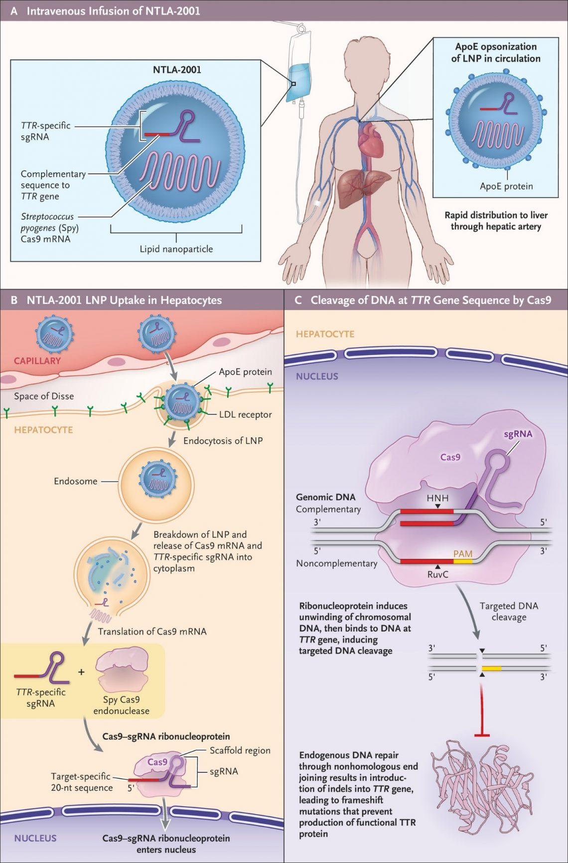 Схема работы препарата NTLA-2001