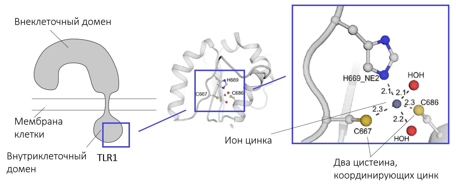 Процесс образования участка связывания цинка двумя цистеинами.