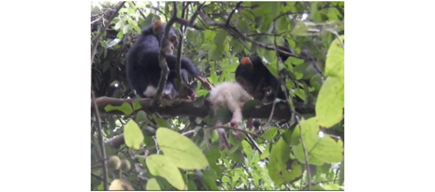 Двое детёнышей шимпанзе исследуют тело мёртвого детёныша-альбиноса.