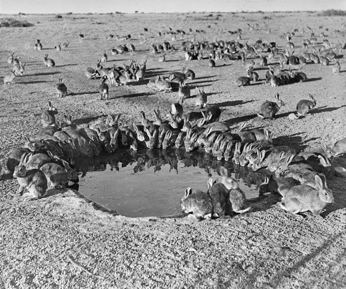 Кролики уводоёма накарантинном полигоне наострове Варданг