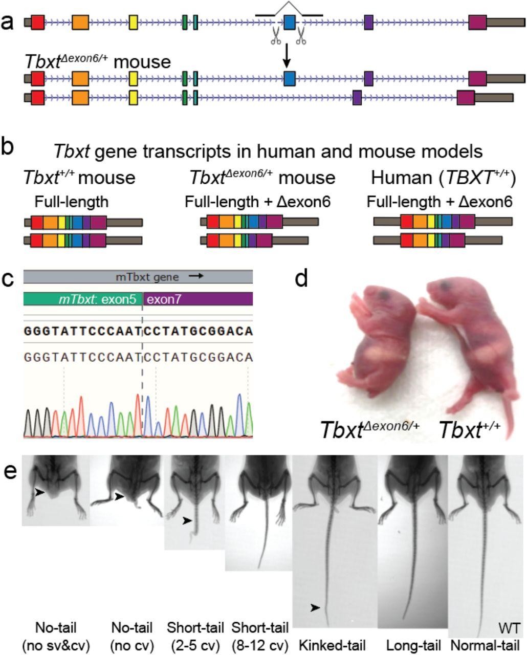 Получение генетически модифицированных мышей сразными нарушениями развития хвоста