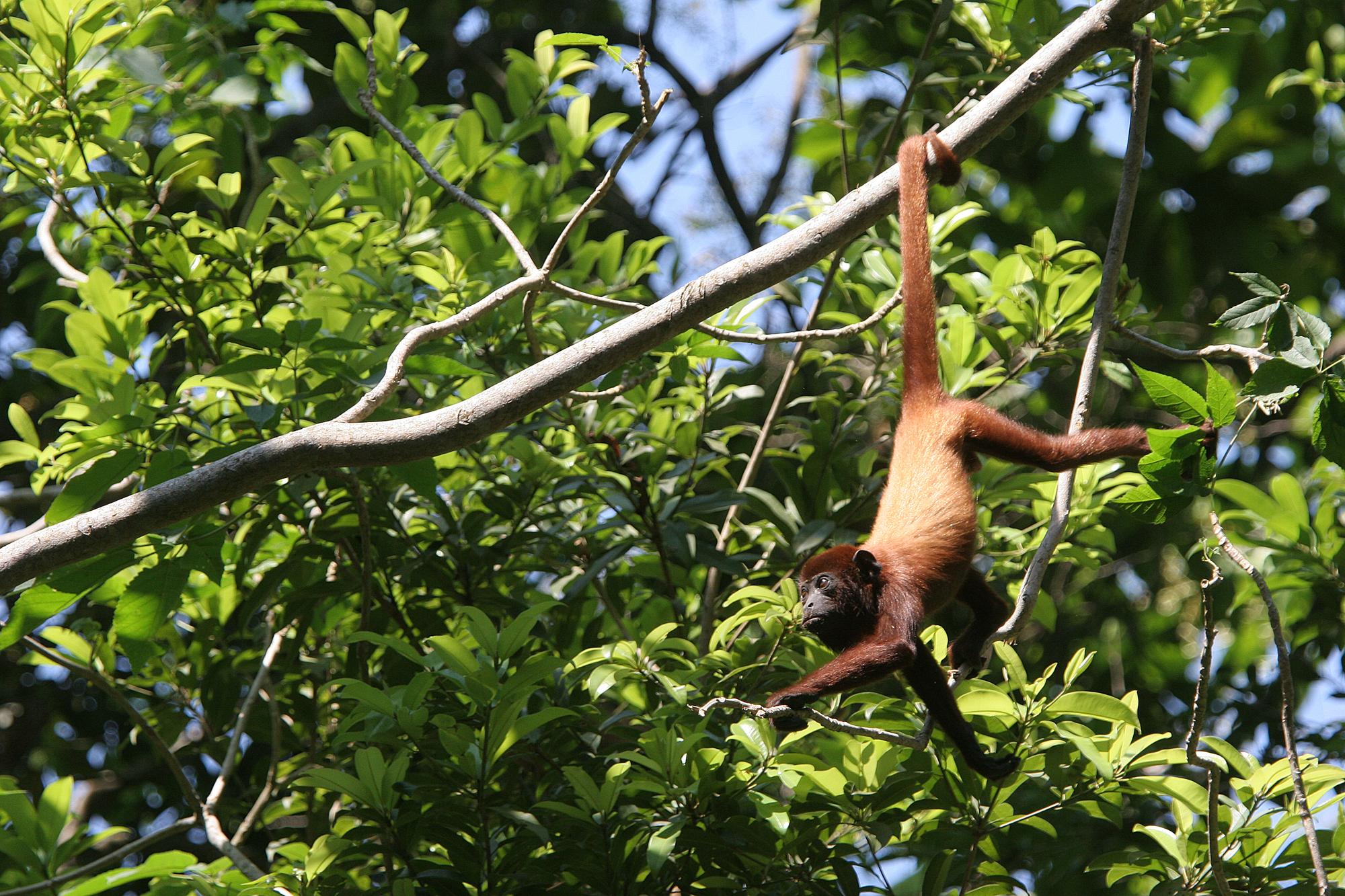 Хвост— это довольно удобно. Но общий предок человека идругих человекоподобных обезьян давно избавился от него.