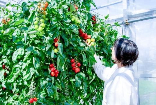 CRISPR-томаты висследовательской теплице