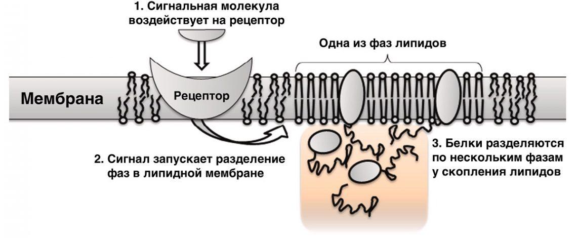 Рисунок 2. Схема передачи сигнала при помощи разделения жидких фаз