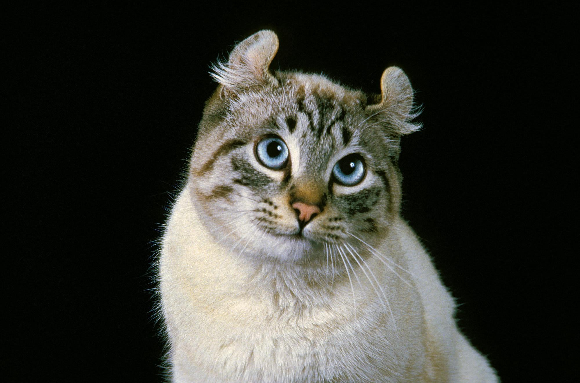 Американские кёрлы, согласно исследованию,— самая дружелюбная по отношению кчеловеку порода домашних кошек.