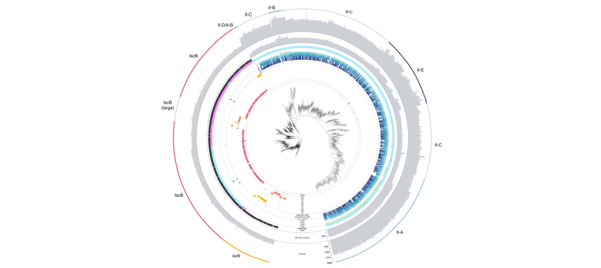 Филогенетическое древо доменов IsrB, IscB иCas9.